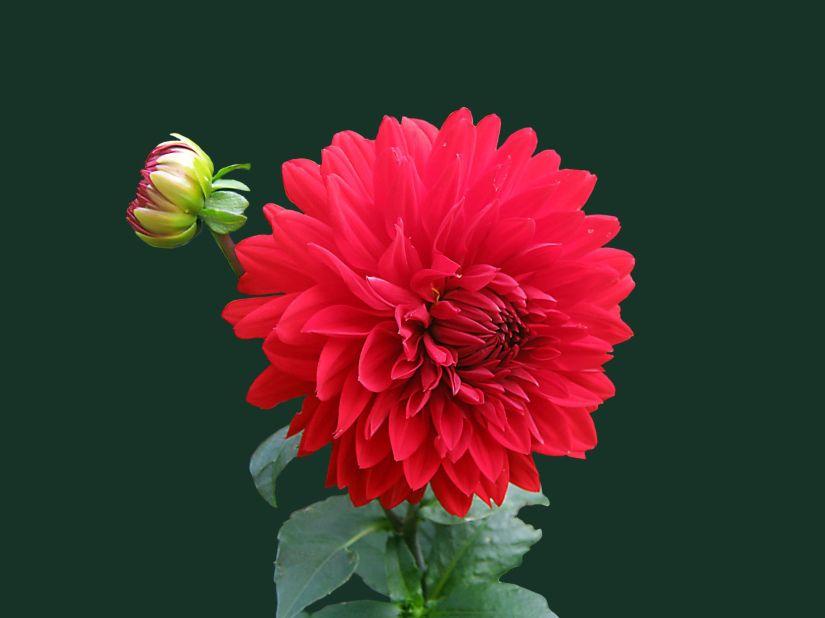 bloom-blossom-dahlia-60597